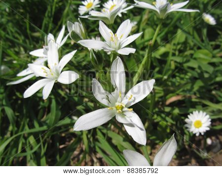 Star Of Bethlehem Flowers And Daisies
