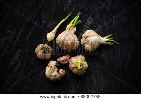 Many Heads Of Garlic With Green Sprouts