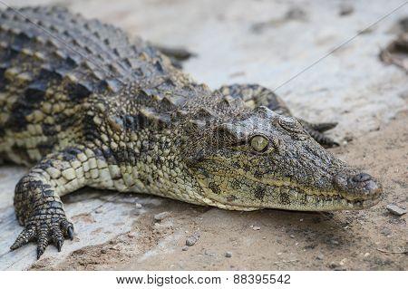 Crocodile Reptle Portrait