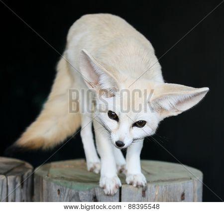 Fennic Desert Fox With Large Ears