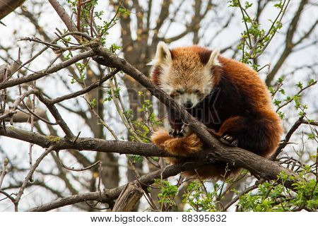 One sleeping Red Panda