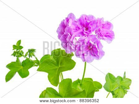 Beautiful Blooming Purple Geranium Flower With Green Leaves Is Isolated On White Background. Pelargo