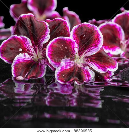 Beautiful Spa Still Life Of Blooming Dark Purple Geranium Flower And Beads On Ripple Reflection Dark