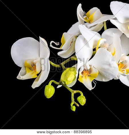 Beautiful Blooming Branch White Orchid With Dew, Phalaenopsis On A Black Background