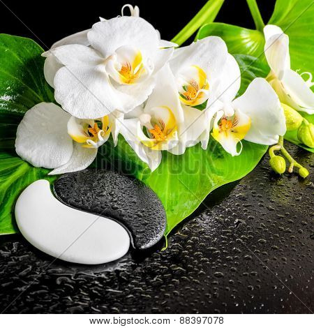 Spa Concept Of White Orchid Flower, Phalaenopsis, Green Leaf With Dew And Yin-yang Of Stone Texture
