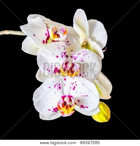 Blooming Twig Of White Orchid Phalaenopsis With Lilac Spots Is Isolated On The Black, Closeup