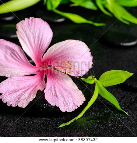 Spa Concept Of Pink Hibiscus Flower And Twig Bamboo On Zen Basalt Stones With Drops, Closeup