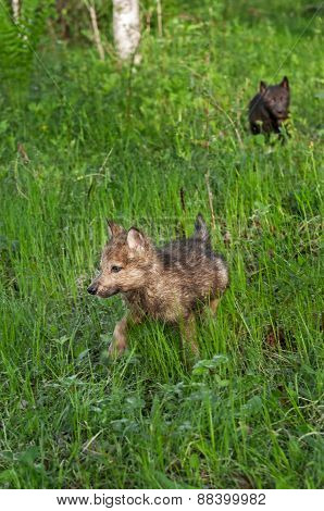 Grey Wolf (canis Lupus) Pup Runs Through Wet Grass