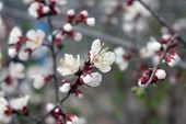stock photo of orange blossom  - Flowers of the cherry blossoms on a spring day - JPG