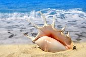 picture of conch  - Conch shell on beach  - JPG