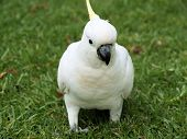 stock photo of royal botanic gardens  - Beautiful sulphur crested cockatoo in the royal botanic gardens in Sydney - JPG