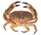 foto of claw  - Crab with open claws isolated on a white background - JPG