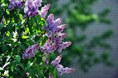 pic of lilac bush  - purple lilac bush blooming in May day - JPG