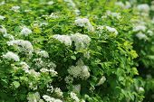 stock photo of meadowsweet  - view of bushes blooming white spiraea in garden - JPG