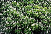 pic of photosynthesis  - chestnut tree blooming white flowers - JPG