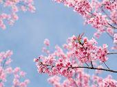 picture of sakura  - Beautiful spring Sakura Cherry Blossom in the garden - JPG