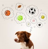 picture of border collie  - Cute brown and white border collie thinking about balls in a thought bubbles above his head - JPG