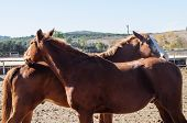 stock photo of flirt  - Two horses flirt and play together, sunny day
