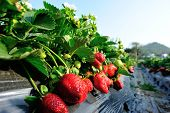 picture of strawberry plant  - green strawberry plants in growth at field