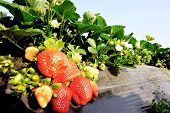 image of strawberry plant  - green strawberry plants in growth at field - JPG