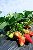 pic of strawberry plant  - green strawberry plants in growth at field