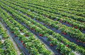 stock photo of strawberry plant  - green strawberry plants in growth  at field - JPG