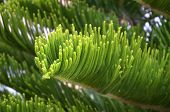 picture of fir  - Green branch of a fir - JPG