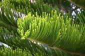 foto of fir  - Green branch of a fir - JPG
