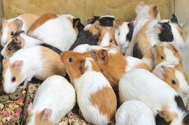picture of pig  - view of Many different guinea pigs sit  - JPG