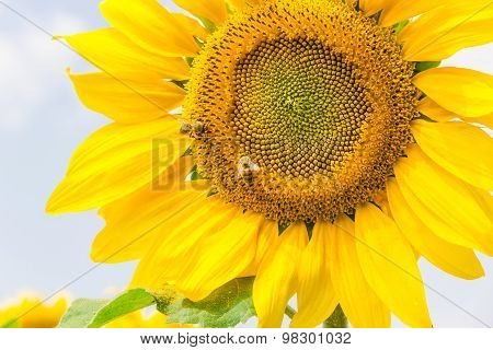 Fragment Of A Flower Sunflower With Bees
