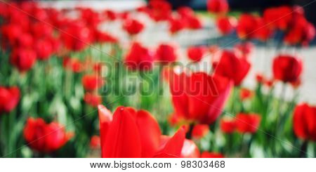 Red Tulips On The Flowerbed. Unfocused Photo. Macro.