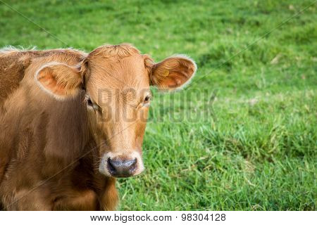 Brown cow looking