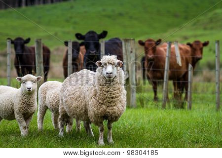 Sheep cattle farm