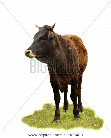 Australian Beef Cattle Breed - Cow Isolated On White