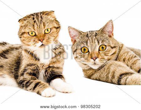 Portrait of two cats Scottish Straight  and Scottish Fold