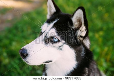 Young Happy Husky Eskimo Dog Sitting In Grass Outdoor