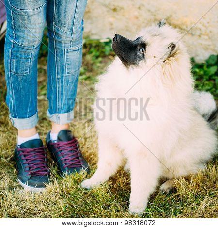 Gray Keeshound, Keeshond, Keeshonden Dog, German Spitz, Wolfspitz