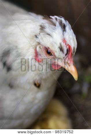 Hen's Head