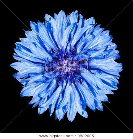 Blue Cornflower Flower - Centaurea Cyanus Isolated On Black