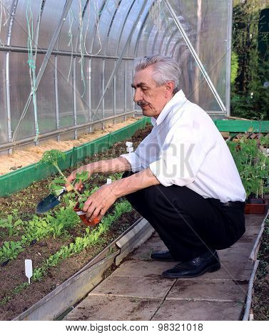 Elderly Man To Plant Of Tomatoes In A Greenhouse