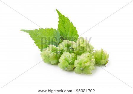 Hops (humulus)
