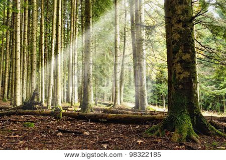 Sunbeam Into The Forest