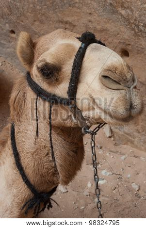 Camel At Petra