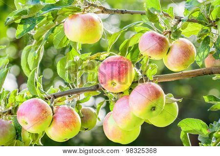 Ripe Apples On A Branch Backlit