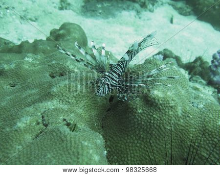 Closed Up The Lionfish On South Andaman , Thailand