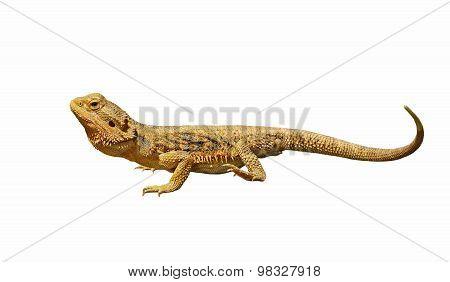 Bearded Dragon Or Pogona Vitticeps Isolated On White