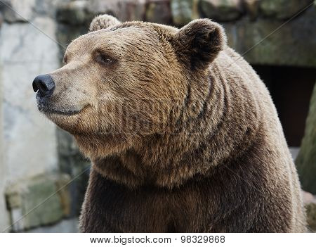 Brown bear portrait