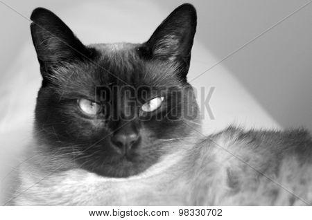 Siamese cat looking forward