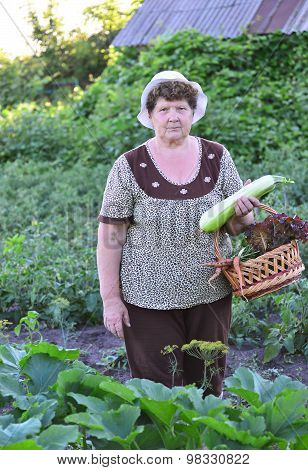A Woman reaps a crop of zucchini