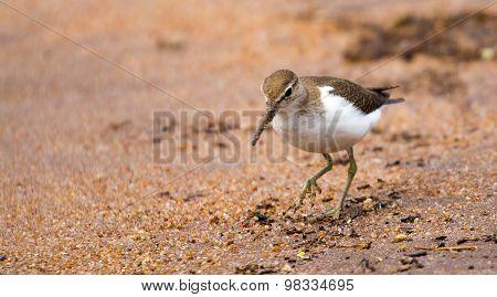 Sandpipper